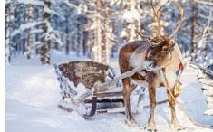 Animal de saison : le Renne
